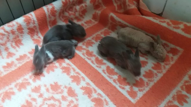 Cachorros de conejo